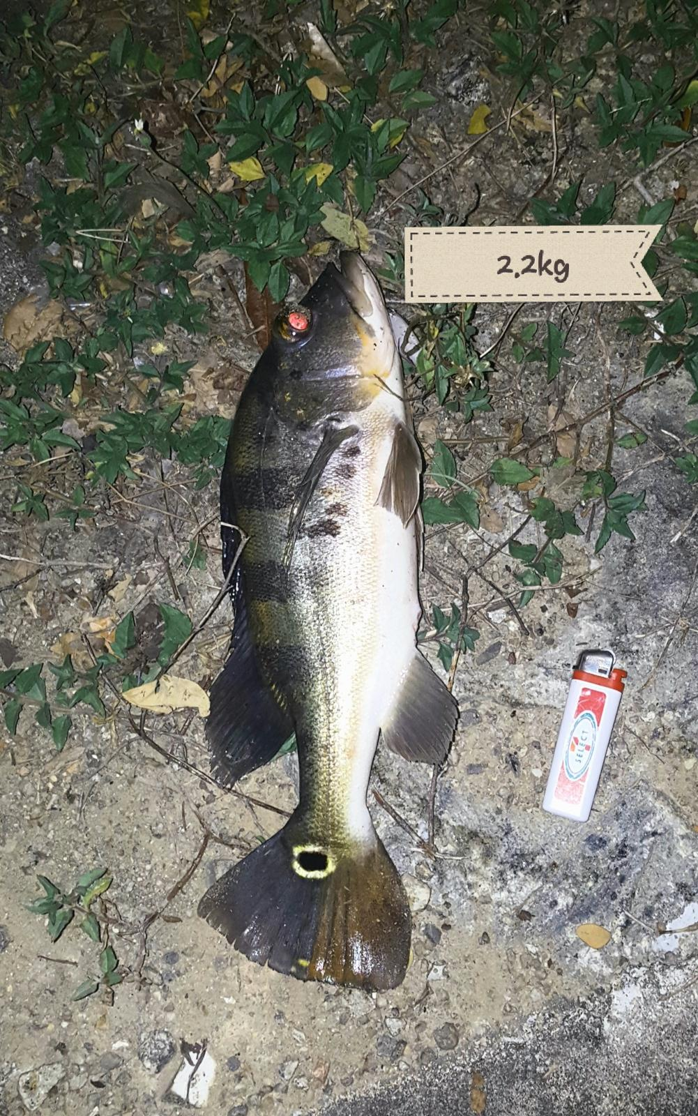 2.2KG Peacock Bass on 20th Aug 2018 5am