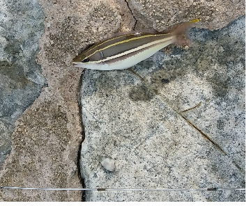 White Shouldered Whiptail.png